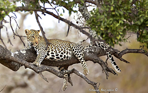 ArkImages.com – Shawn Benjamin Photography | Leopard
