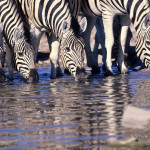 ArkImages.com - Shawn Benjamin Photography | Zebra Drinking