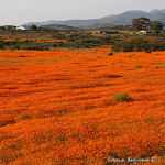 ArkImages.com - Shawn Benjamin Photography | Flower |Namaqualand