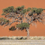 ArkImages.com - Shawn Benjamin Photography | Tree| Namib|Sossusvlei