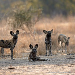 ArkImages.com – Shawn Benjamin Photography | Wild Dogs, Zambia