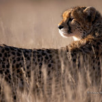 ArkImages.com - Shawn Benjamin Photography | Cheetah, South Africa