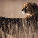 ArkImages.com - Shawn Benjamin Photography | Cheetah, South Africa