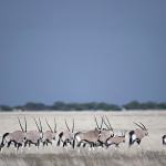 ArkImages.com - Shawn Benjamin Photography | Gemsbok/ Oryx