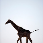 ArkImages.com - Shawn Benjamin Photography | Giraffe on the Run