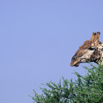 ArkImages.com - Shawn Benjamin Photography | Giraffe Head