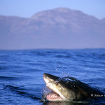 ArkImages.com - Shawn Benjamin Photography | Great White Shark, Cape Town