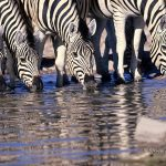 ArkImages.com - Shawn Benjamin Photography | Zebra Drinking at a Waterhole