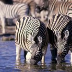 ArkImages.com - Shawn Benjamin Photography | Zebra in the Water