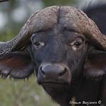 ArkImages.com - Shawn Benjamin Photography | Cape Buffalo