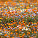 ArkImages.com - Shawn Benjamin Photography | Flower |Namaqualand