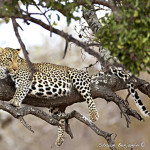 ArkImages.com - Shawn Benjamin Photography | Leopard