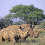 ArkImages.com - Shawn Benjamin Photography | White Rhino