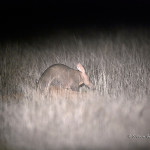 ArkImages.com - Shawn Benjamin Photography | Aardvark/ Ant Eater
