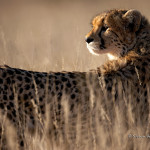 ArkImages.com - Shawn Benjamin Photography | Cheetah