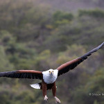ArkImages.com - Shawn Benjamin Photography | African Fish Eagle