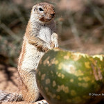 ArkImages.com - Shawn Benjamin Photography | Ground Squirrel