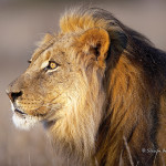 ArkImages.com - Shawn Benjamin Photography | Male Lion